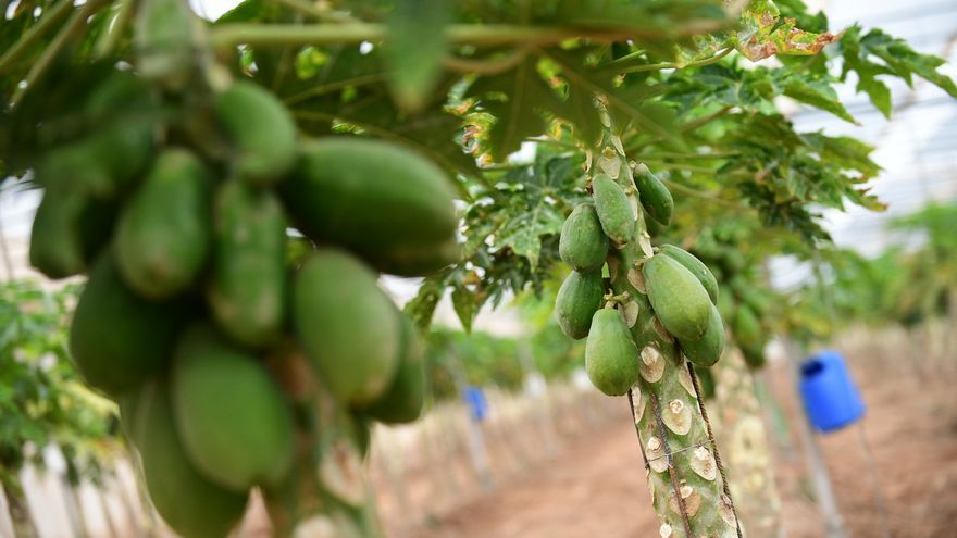 Papaya cultivada en la isla de Gran Canaria, en uno de los invernaderos de Conagrican