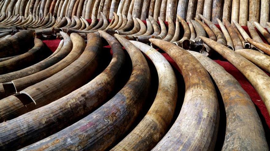 Incautan en Madrid 74 colmillos de elefante africano, en peligro de extinción