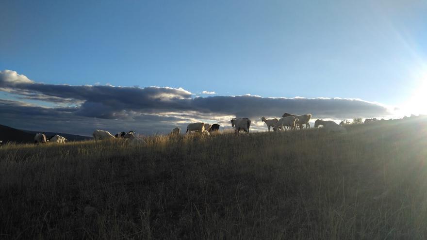Cabras en Orea, Guadalajara