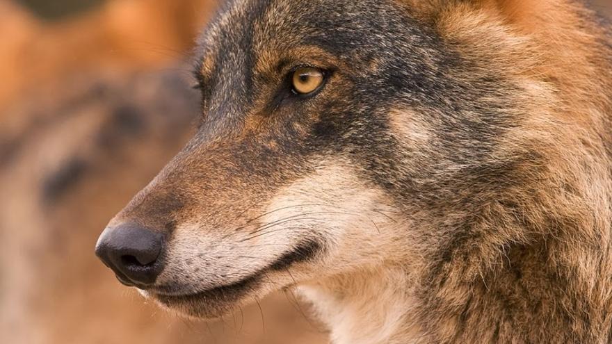 Lobo ibérico. / Carlos M. García (EEA)