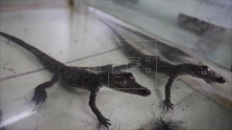 Nacen dos cocodrilos en cautiverio en el zoológico de Lima