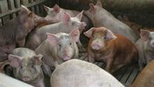 Ecologistas en Acción presenta alegaciones y pide que se rechace la autorización ambiental de una granja porcina en Meneses (Palencia)