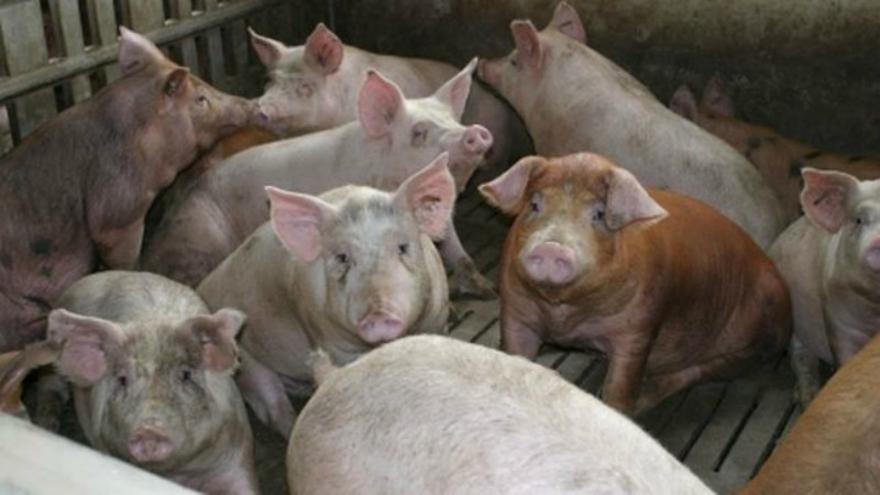 Cerdos en una granja de engorde. Foto: GA