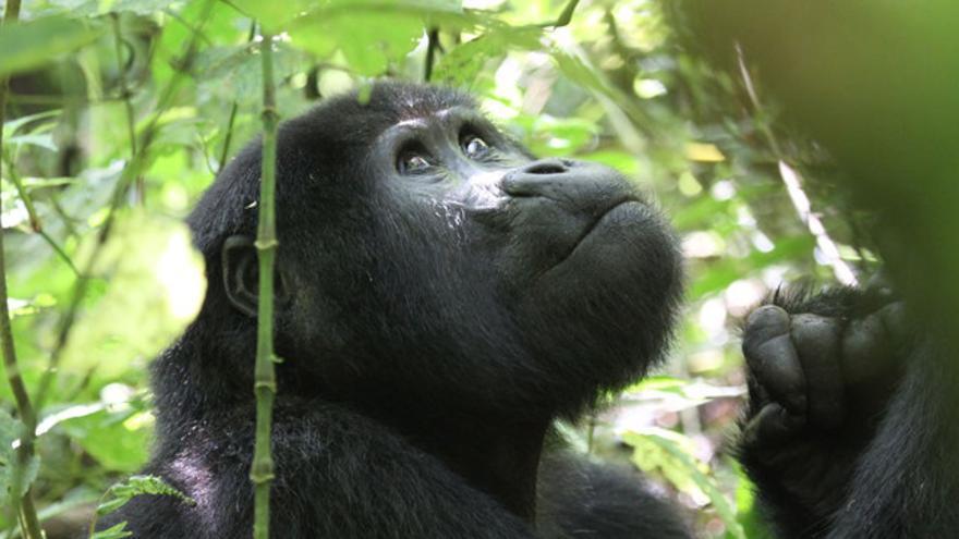 Un nuevo estudio demuestra que los turistas se acercan demasiado a los gorilas de montaña, exponiéndolos a enfermedades que pueden ser mortales. / Nancy J. Stevens