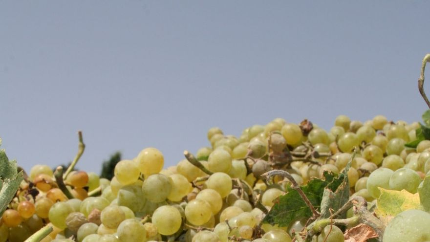 Comienza la recolección de la uva Pedro Ximénez tras llegar a su ecuador la vendimia Montilla-Moriles