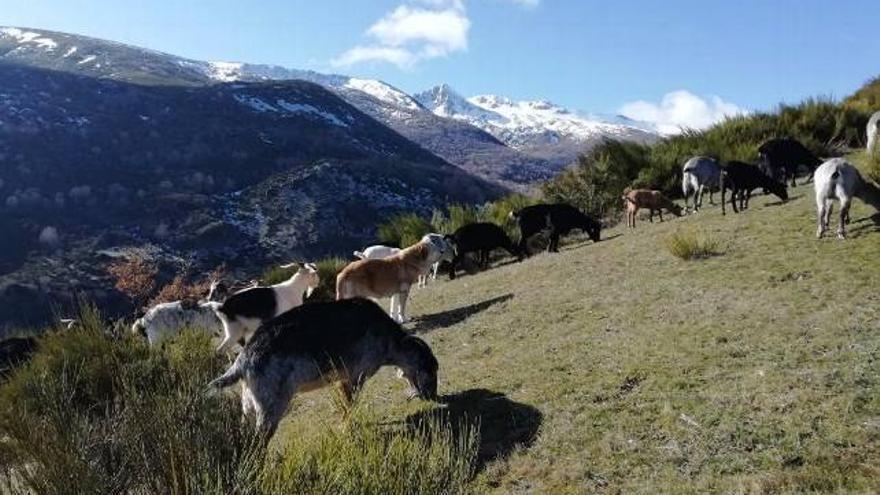 Imagen del rebaño de cabras de Ángel Santamarta.