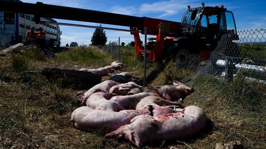 Cerdos víctimas de un accidente de tráfico cuando eran trasladados desde las granjas de explotación al matadero