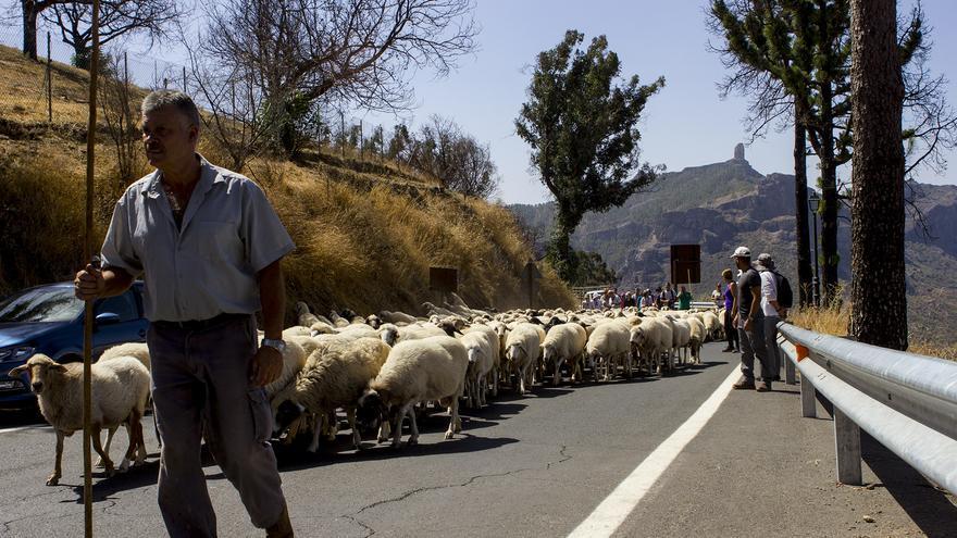 Los pastores conducen el rebaño de la familia Mendoza hasta la Cruz de Tejeda. JOSE J. JIMÉNEZ