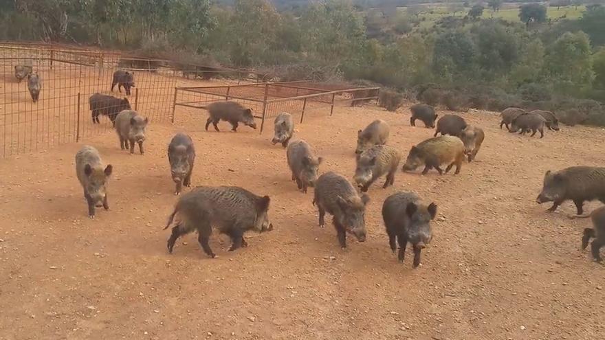 Captura de un vídeo publicado en YouTube de una granja cinegética que cría jabalíes para que los cazadores disparen sobre ellos