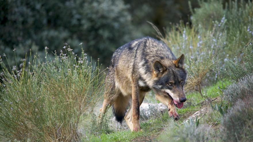 Un lobo ibérico.