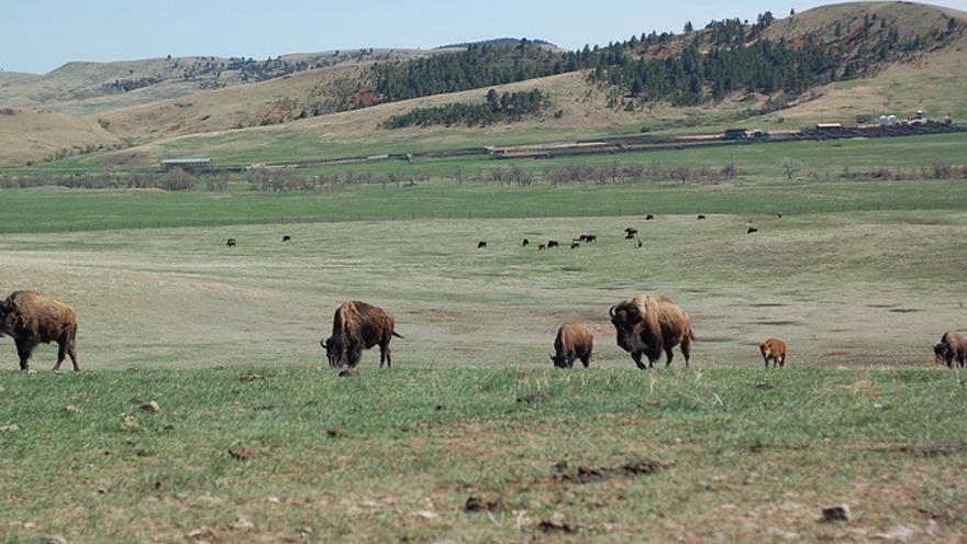 Los búfalos vuelven a correr por los prados bajos de las Colinas Negras. Hoy su población es estable aunque la amenaza de la desaparición sigue siendo una realidad.  Britt Reints