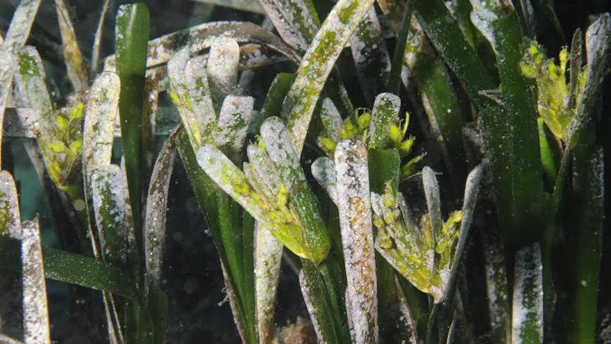 Detalle de las hojas de posidonia.