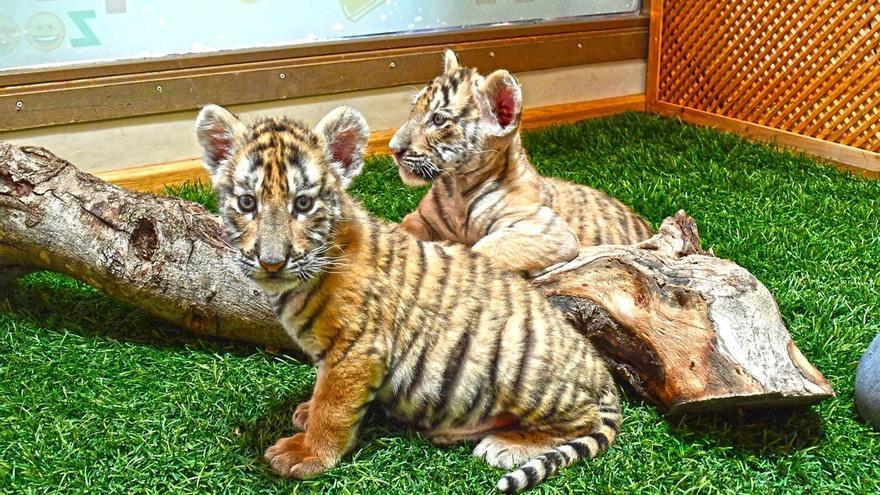 Terra Natura envía dos tigresas, 'Neu' y 'Pluja', a Cabárceno para que creen un grupo reproductor