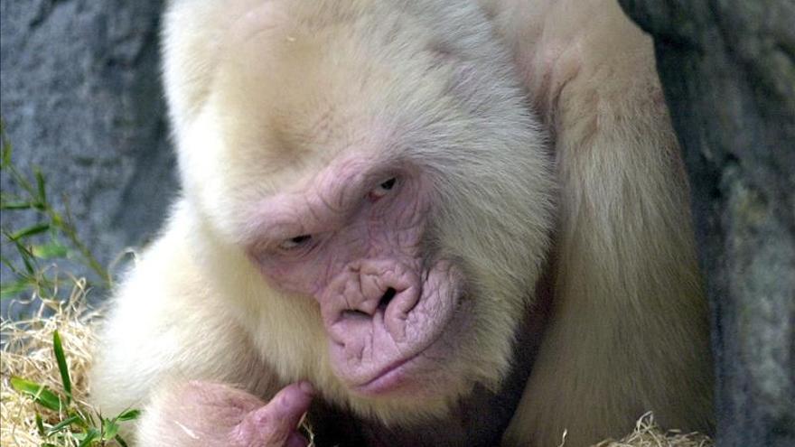 El Zoo de Barcelona dedica una semana a Copito diez años después de su muerte