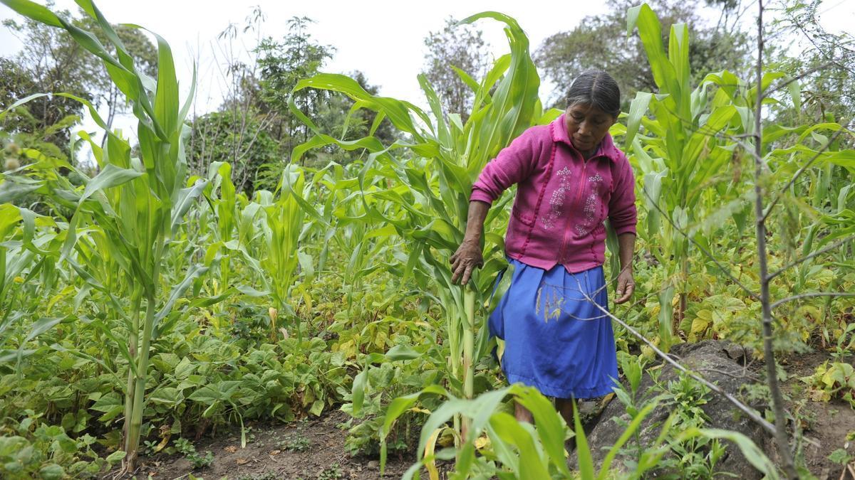 Fotografía que muestra una mujer indígena Tzotzil de la comunidad de La Sidra en el estado mexicano de Chiapas mientras trabaja en su siembra de maíz. EFE/Mario Guzmán/Archivo