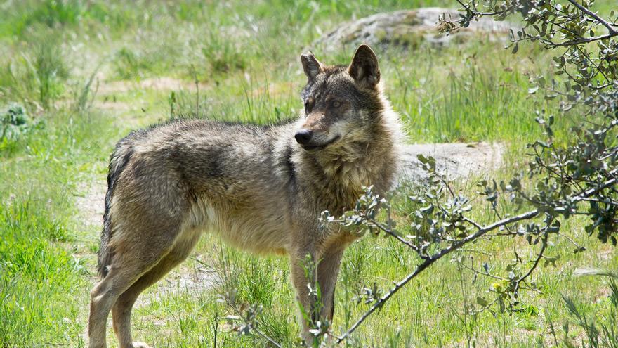 Lobo ibérico. Foto por flickr.com/fmunozfo