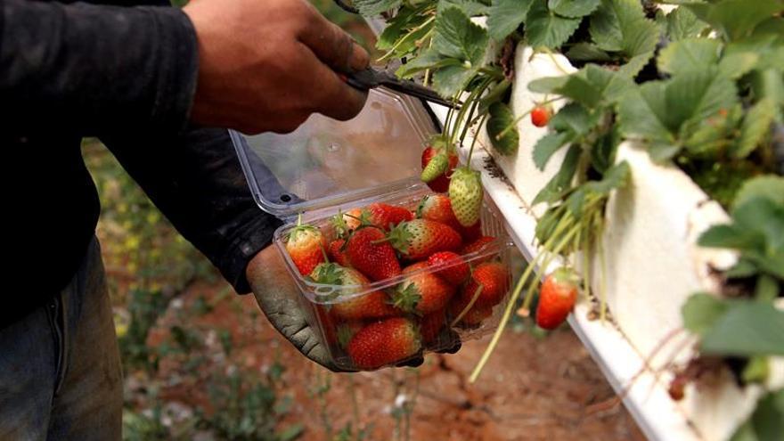 Gaza exportará fresas a Europa, tras la autorización de Israel