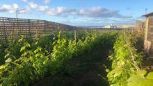 Cultivo de vides en Gran Canaria
