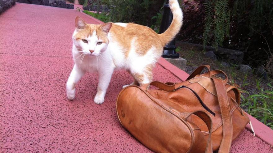 El gato aventurero Kenzo en el hotel de Los Cancajos donde quiere vivir.