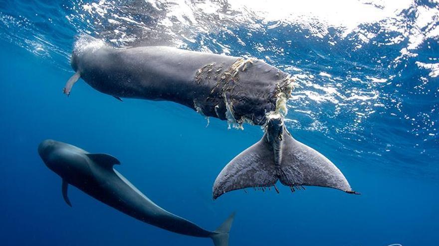 La ballena calderón sacrificada este domingo en aguas cercanas a Arona