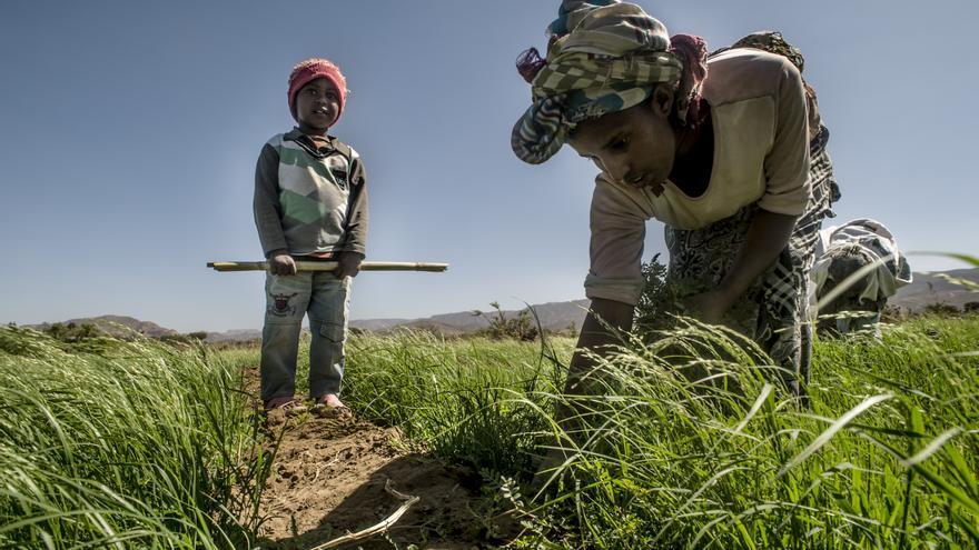 La familia de Lem-Lem cultiva teff en su media hectárea de tierra de Wukro.  © Ángel López Soto_Ayuda en Acción