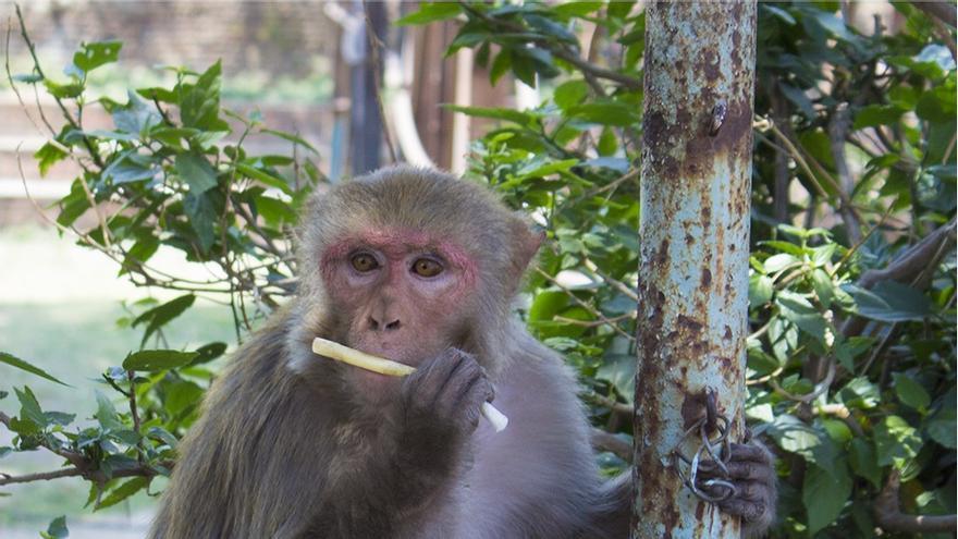 Un macaco en el templo de Thapatali (Nepal) / T.S. Evans