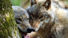 Pareja de lobos en los Picos de Europa.  