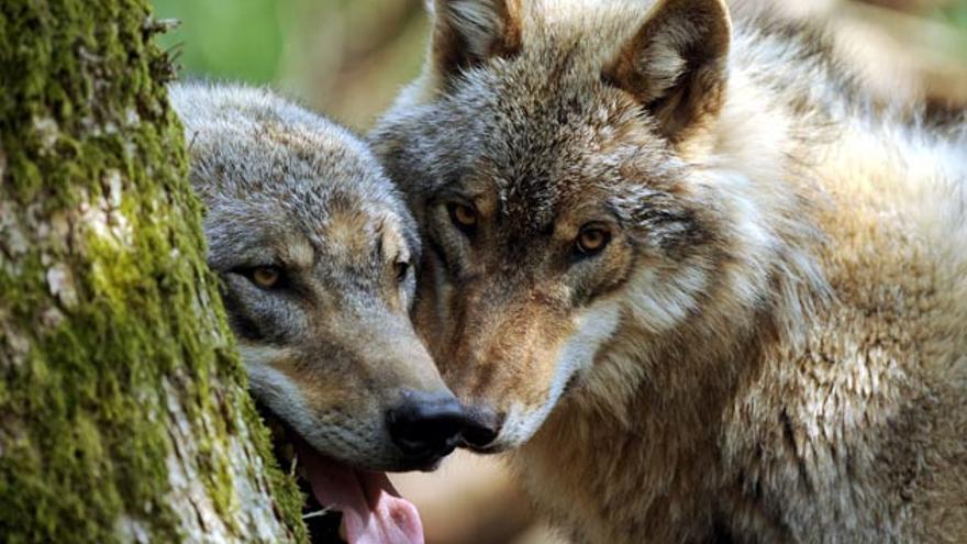 Pareja de lobos en Asturias / Senderismo en Asturias