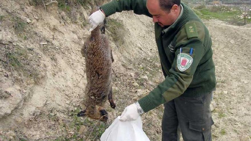 Un agente forestal de la Región de Murcia recoge un zorro muerto. RM.