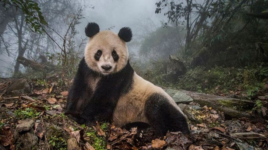 Pandas Gone Wild / Ami Vitale, USA, for National Geographic Magazine