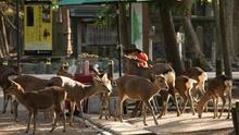 Varios ciervos rodean a un vendedor de alimentos para los animales en Nara, Japón.
