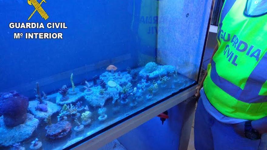 Corales intervenidos por la Guardia Civil.