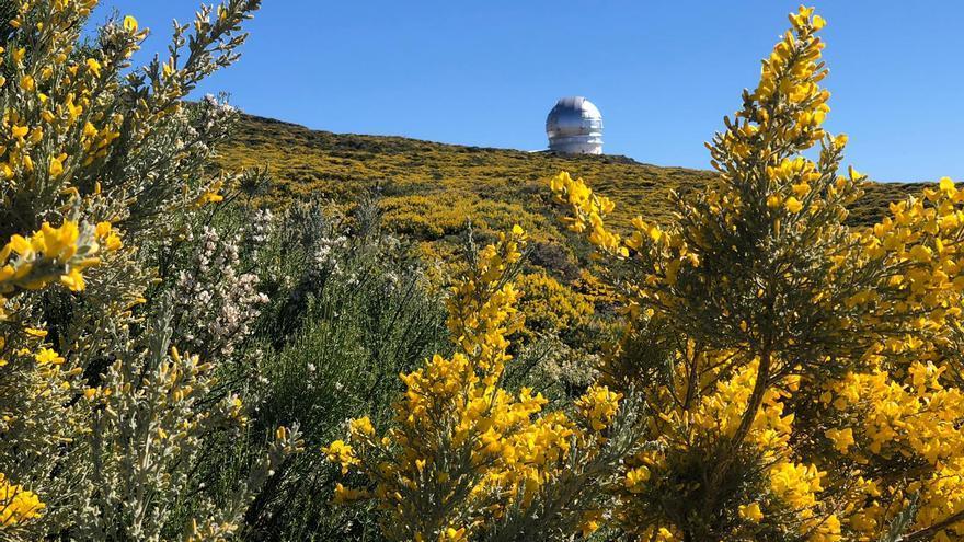 Retamas y retamones, en primer término, y codesos y el Gran Telescopio Canarias, al fondo.