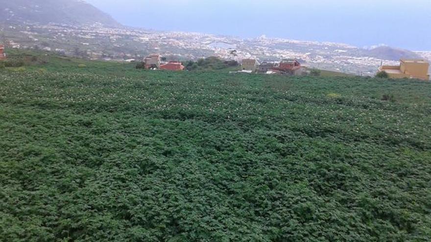 Cultivo de papa en secano, en las medianías altas de La Orotava