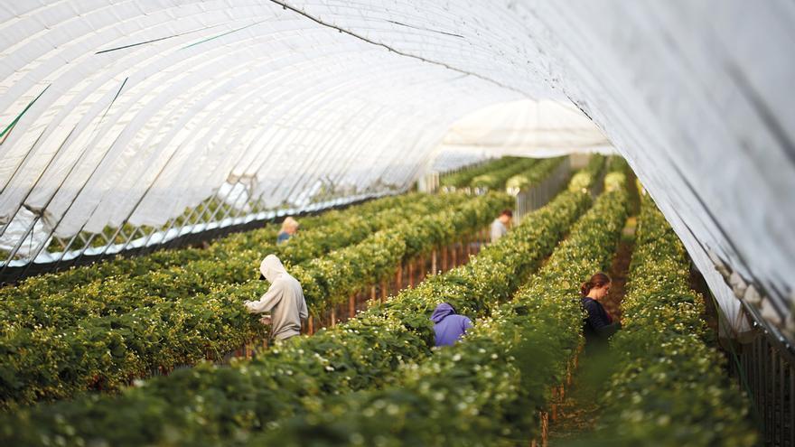 Trabajadoras regogen fresas en un invernadero.