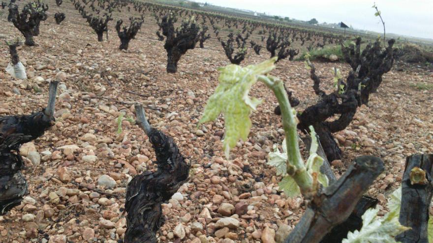 La viña es uno de los cultivos más afectados