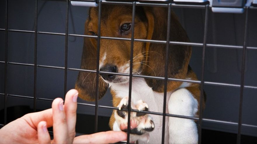 Uno de los perros beagle liberado de Green Hill. Foto: Lega Antivivisezione (LAV)