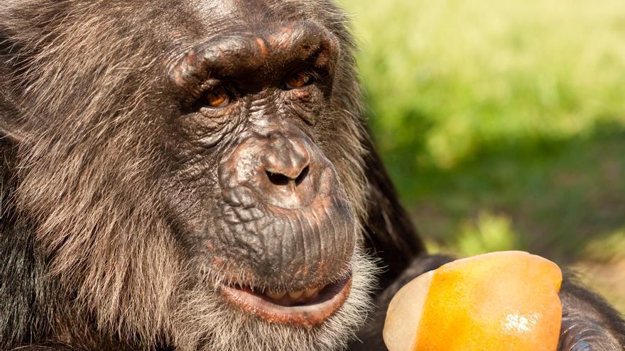 Toni, uno de los chimpancés rescatados en la Fundación MONA. Foto: Pau Brugues/Fundación MONA