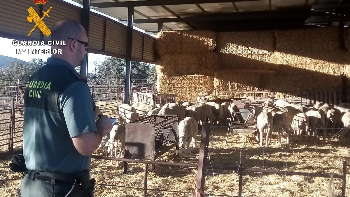 Corderos recuperados por la Guardia Civil