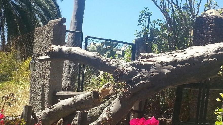 Caída de un drago en Santa Brígida. (Pedro Socorro)
