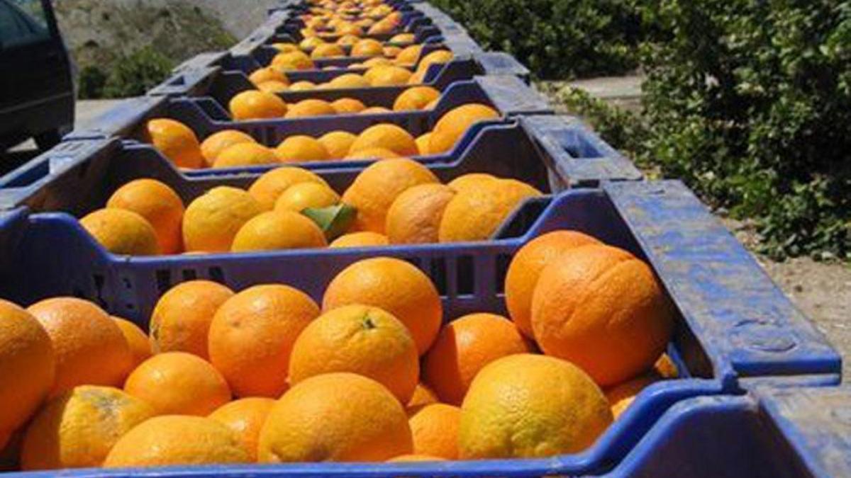 Varias cajas de naranjas tras ser recogidas en Palma del Río.