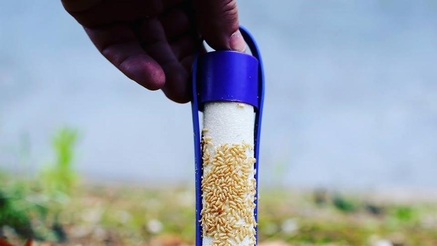 Larvas de termitas en una prueba realizada por un experto