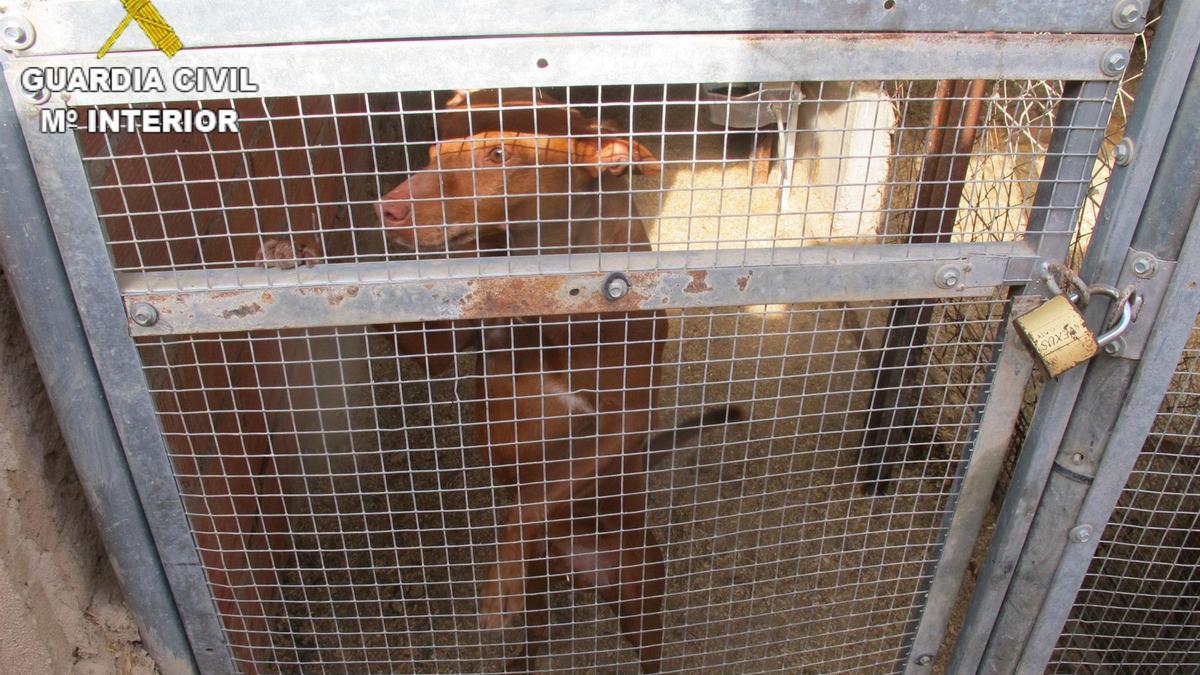 Perros localizados en Valverde del Júcar (Cuenca) con evidencias de maltrato animal