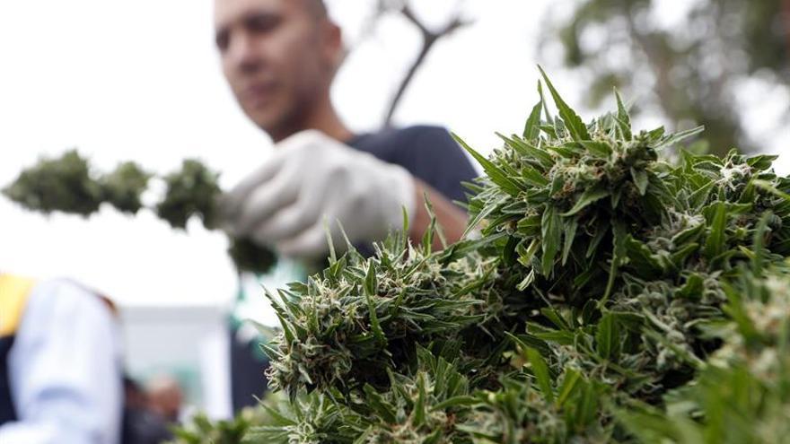 Un estudio asegura que la marihuana medicinal no reduce las muertes por opioides