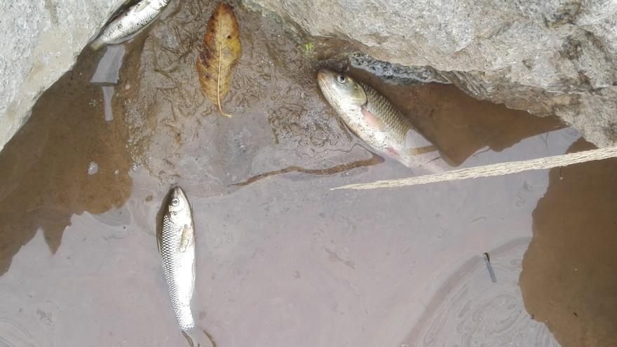 Peces muertos a la orilla del río Besòs