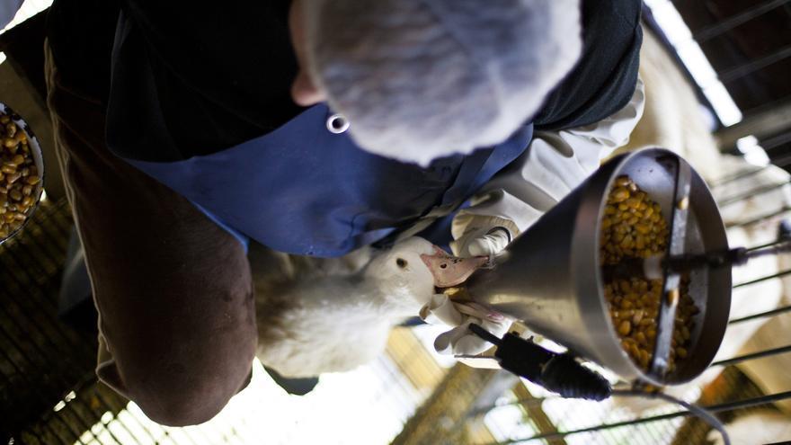 Alimentación forzada a un pato en la granja Momotegi (Oiartzun) para elaborar foie-gras. Foto: © Igualdad Animal