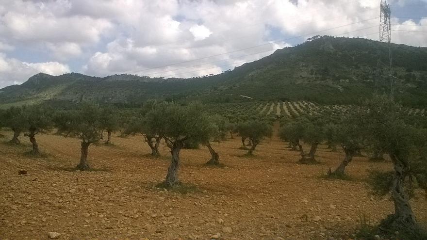 Olivos en Sayatón (Guadalajara)