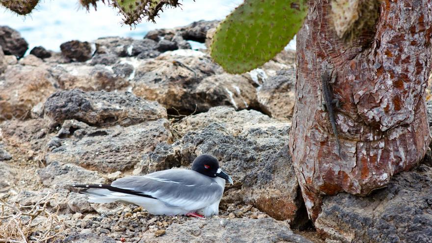 Una gaviota de cola bifurcada descansa bajo un cactus en Plazas Sur, Galápagos. VIAJAR AHORA