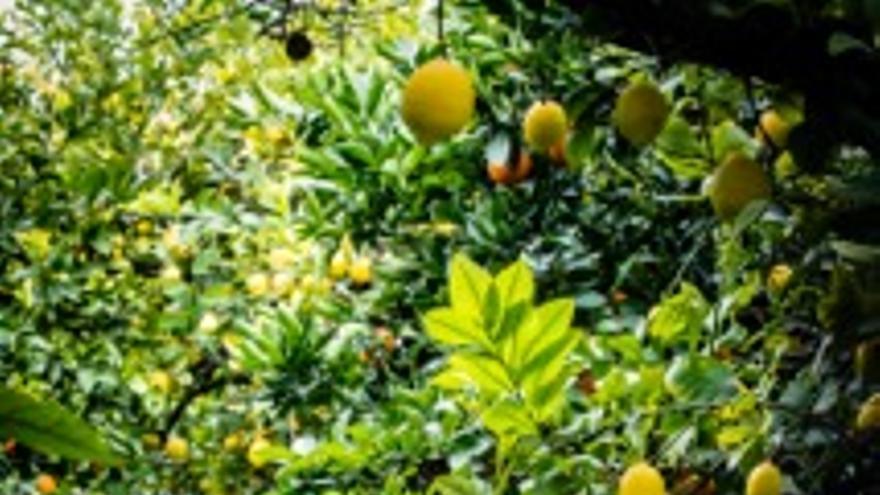 Limoneros en la huerta de Murcia