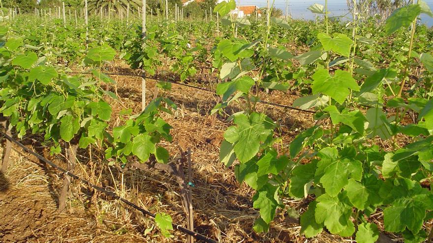 Finca con cepas destinadas a la producción de vino, en la isla de Tenerife (www.craterbodegas.com)